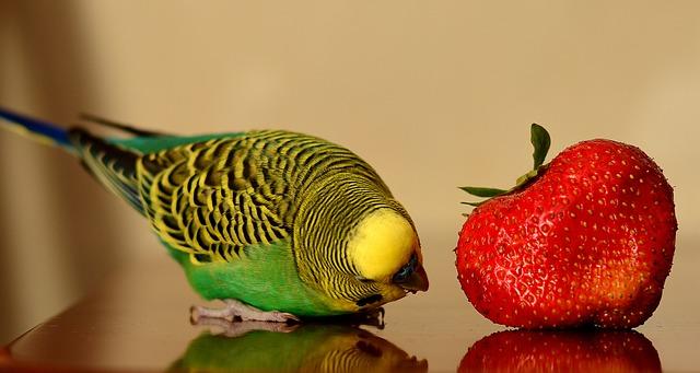 papoušek a jahoda